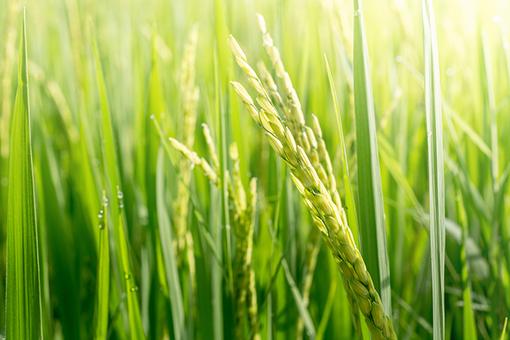 「令和3年産米の作柄と品質の概況(水稲)(2021.11)」を更新しました。